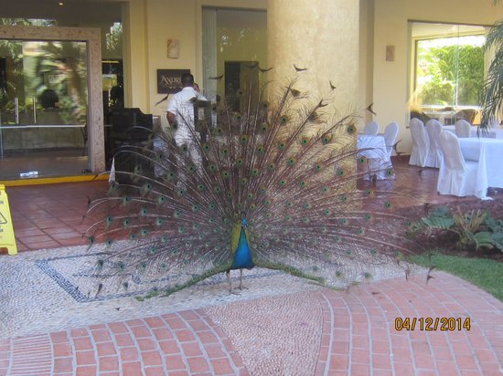 Velas Vallarta : one of serveral peacocks living at Velas