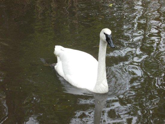 WWT Martin Mere Wetland Centre: swan