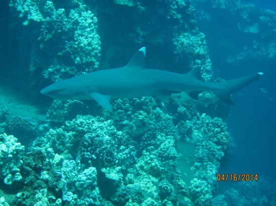 Banyan Tree Divers : Reef Shark