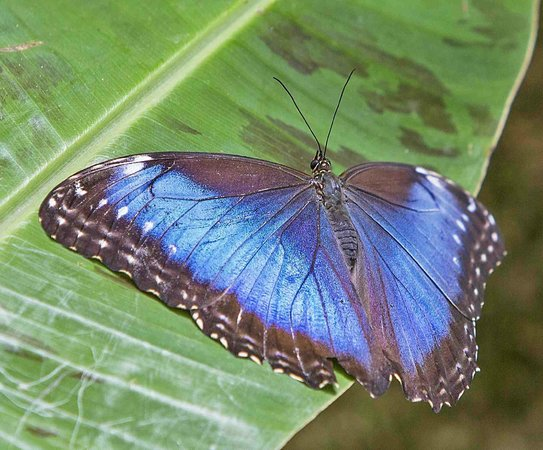 Hidden Canopy Treehouses Boutique Hotel: Blue Morpho Butterfly