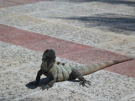 Grand Bahia Principe Coba: One of many many iguanas