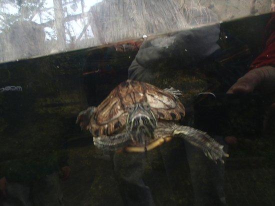 North Carolina Aquarium on Roanoke Island: terrapin
