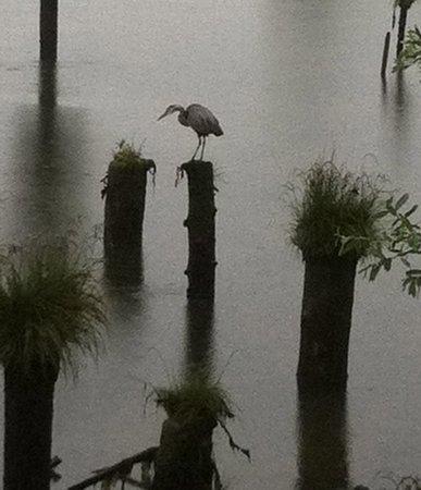 Inn at Skamokawa Landing: Resident Heron looking for a meal