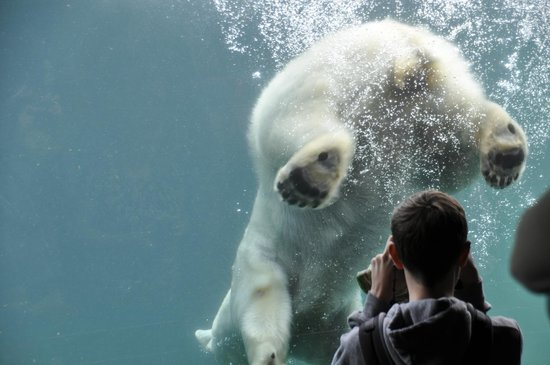 San Diego Zoo: Polar Bears using the window to propel itself in the water