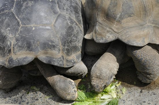 San Diego Zoo: Tortoise stealing his mate's food