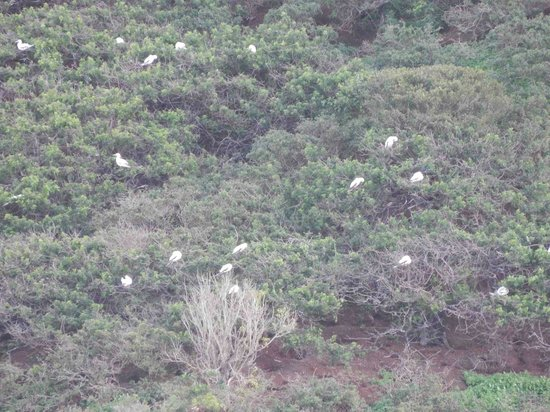Kilauea Point National Wildlife Refuge: Camera zoom view of Red Footed Booby's