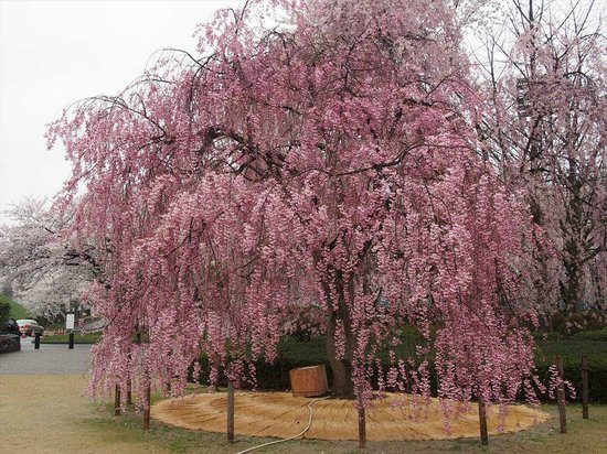 Yamagata castle: 満開の桜