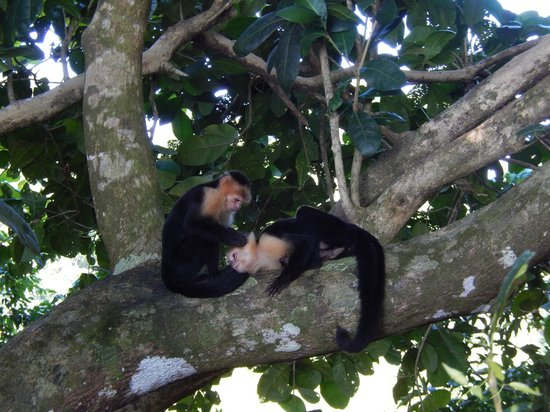 Manuel Antonio: White-faced monkeys