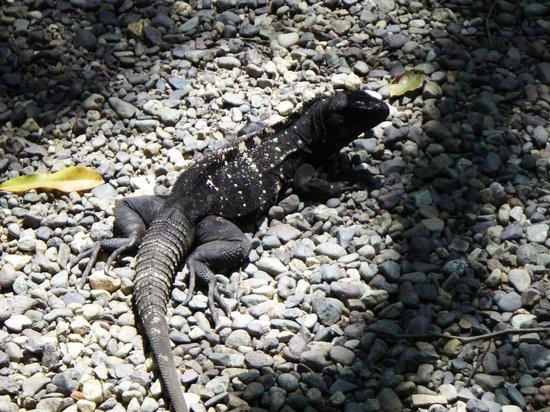Gumbalimba Park: Black iguana