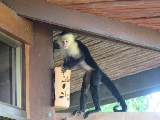 Tulemar Bungalows & Villas: Monkey visiting one morning