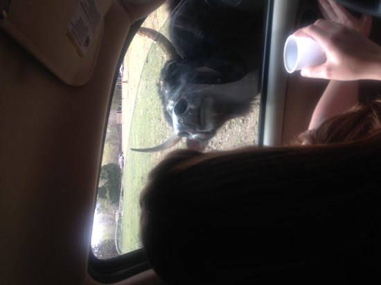 Harmony Park Safari: not sure if that's a cow or...