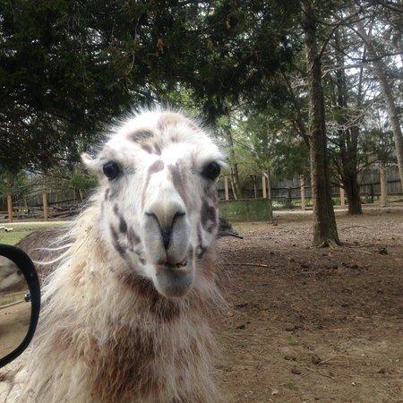 Harmony Park Safari: llama