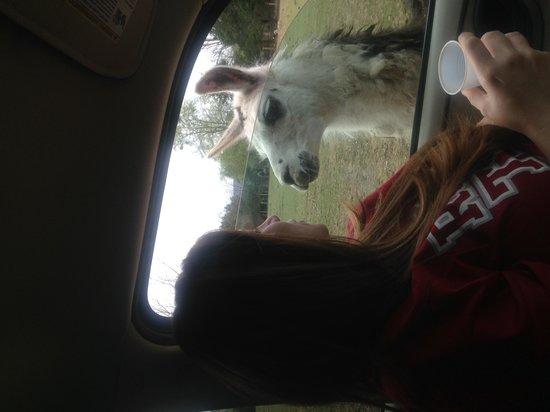 Harmony Park Safari: love the llamas