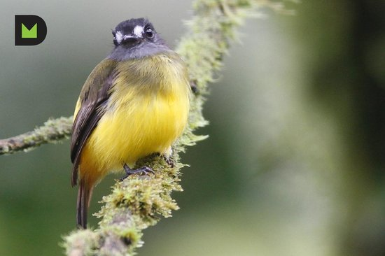 Hosteria Septimo Paraiso : Ornate Flycatcher (Myiotriccus ornatus)