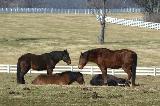 American Mustangs snoozing at the. Kentucky Horse Park