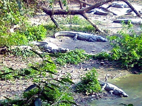 Lucknow, India: Crocodiles at Kukrail Forest Reserve
