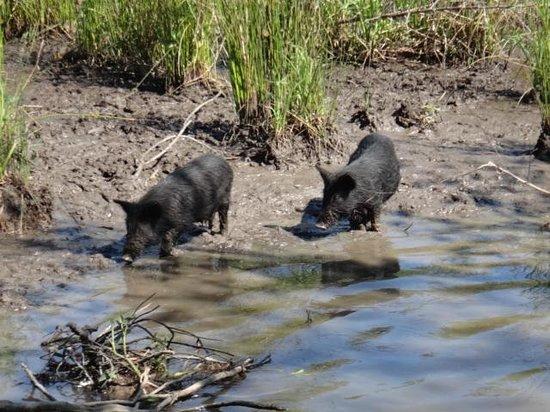 Jean Lafitte Swamp Tours : Wild baby pigs