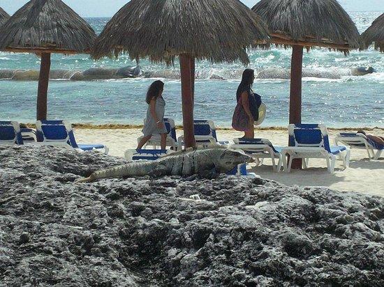 Grand Bahia Principe Tulum : lezard se fais doré les ecailles