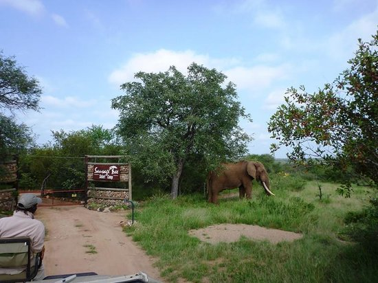 "Sausage Tree Safari Camp: The ""Resident"" Elephants outside the camp"