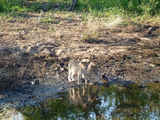 Sausage Tree Safari Camp: Couple of Lion cubs, spotted on our very first drive out
