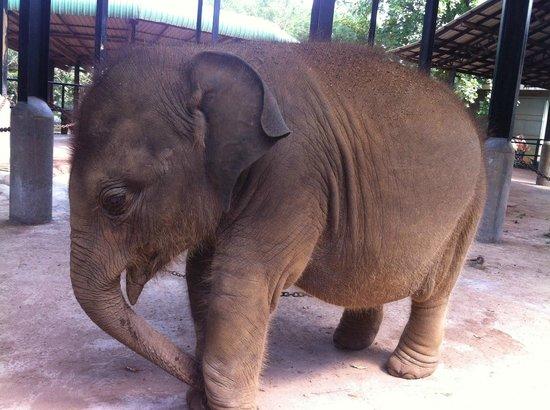 Vendol Resort - Wadduwa: elephant