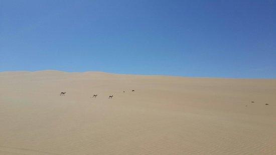Photo Ventures Namibia - Day Tours: Springboks on  the dunes