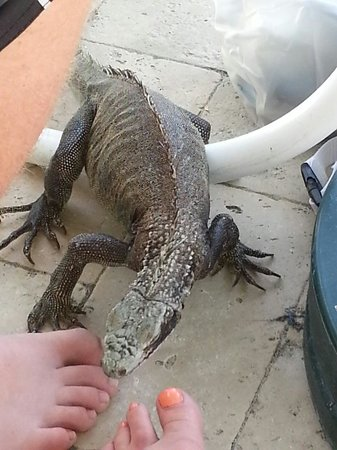Elysian Beach Resort : My 17 year old son and I loved the iguanas by the pool. Quite entertaining. Also a resident cat