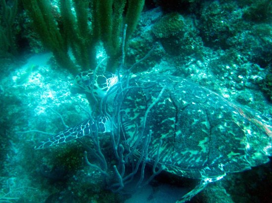 Twin Divers Cracao: turtle