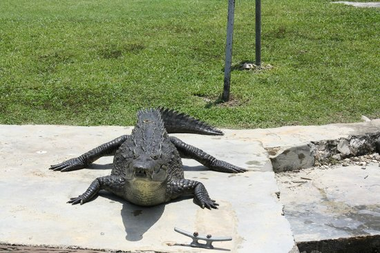 Jamaica Xplored: Black River......crocodile getting a tan.........