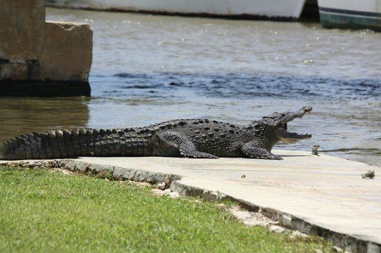 Jamaica Xplored: Crocodile getting a tan......
