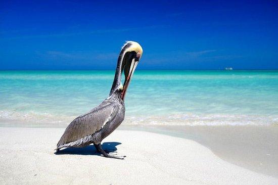 Royalton Hicacos Varadero Resort & Spa : Un pélican sur la plage devant l'hôtel