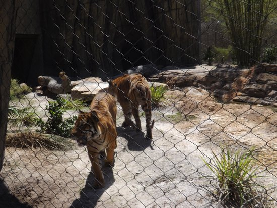 Jacksonville Zoo & Gardens: Beautiful tigers