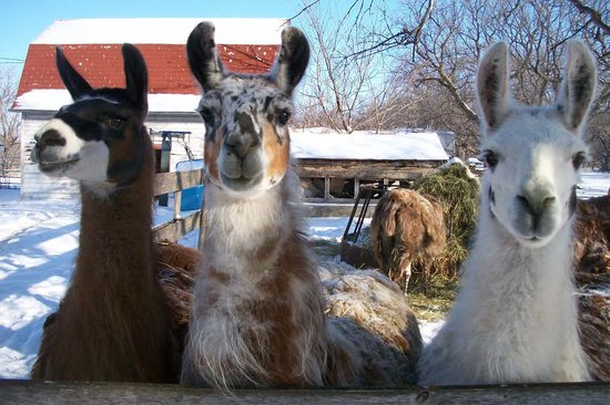 The Fidler House: Our other guests - Llamas