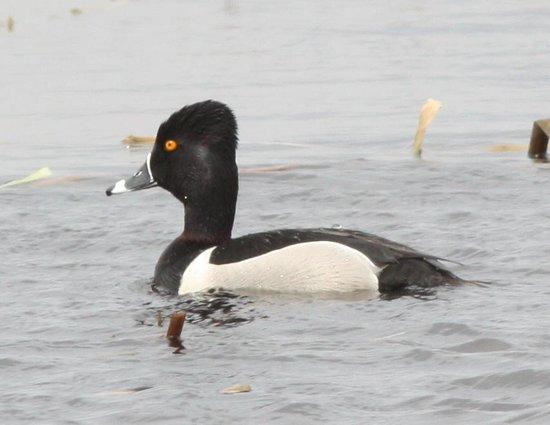 Montezuma National Wildlife Refuge: ringneck duck