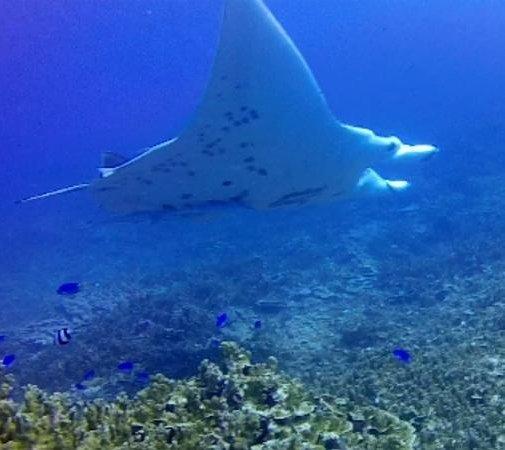 Diveasy : big manta