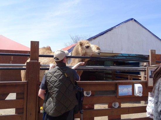 White Post Farms: camel