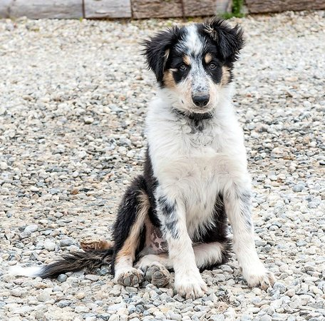 La Cortanela : Ben, the new border collie puppy
