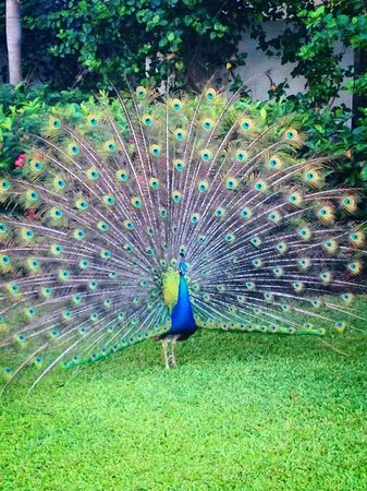 Secrets St. James Montego Bay: This was the most beautiful peacock I have ever seen