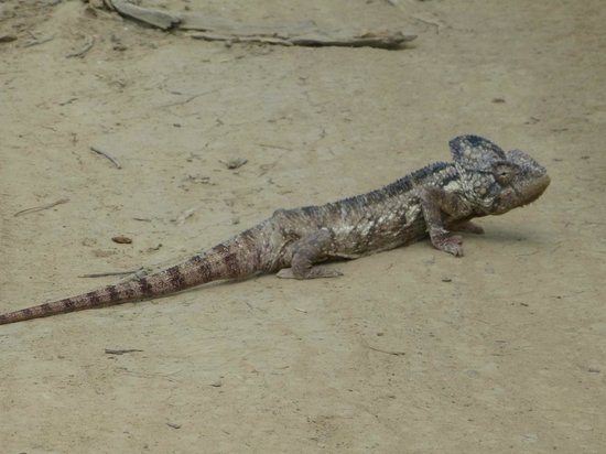 Anja Reserve: Un autre caméléon plus gros (50cm)