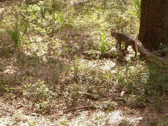 Oatland Island Wildlife Center : Bobcat