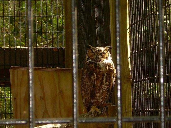 Oatland Island Wildlife Center : Barred Owl