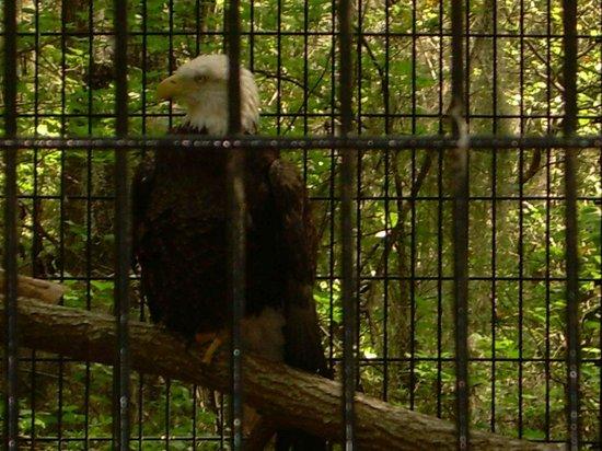 Oatland Island Wildlife Center : Bald Eagle