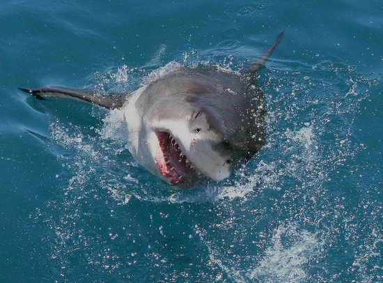 Great White Shark Tours : Great White in Gainsbaai