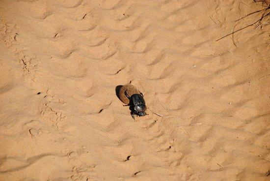 andBeyond Phinda Vlei Lodge: Dung Beetle