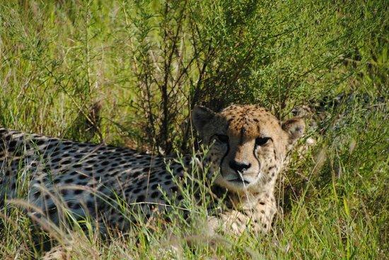andBeyond Phinda Vlei Lodge: Cheetah