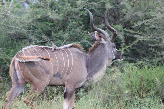 Sanctuary Chief's Camp: Belo exemplar de Kudu