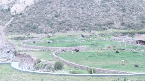 Colca Lodge Spa & Hot Springs - Hotel: Looking across to the alpacas