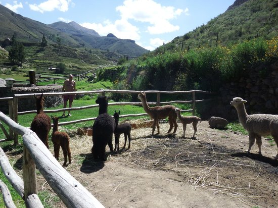 Colca Lodge Spa & Hot Springs - Hotel: Alpacas across the bridge