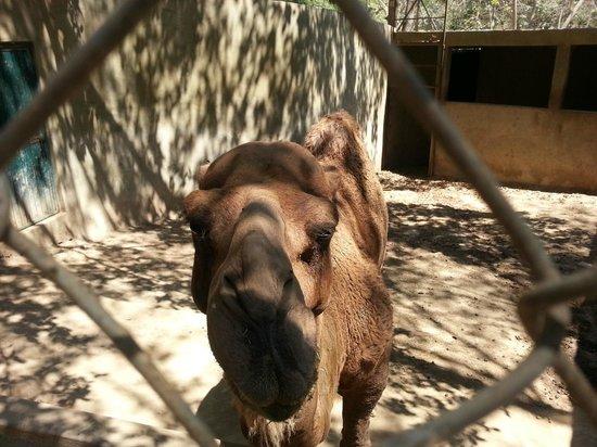 Zoologico de Vallarta: Hello camel