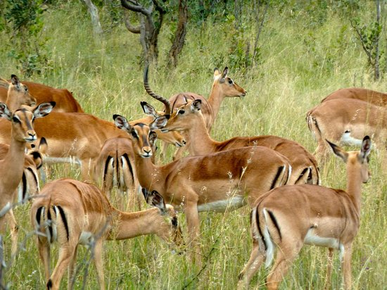 Ant's Hill & Ant's Nest : impala on bush ride